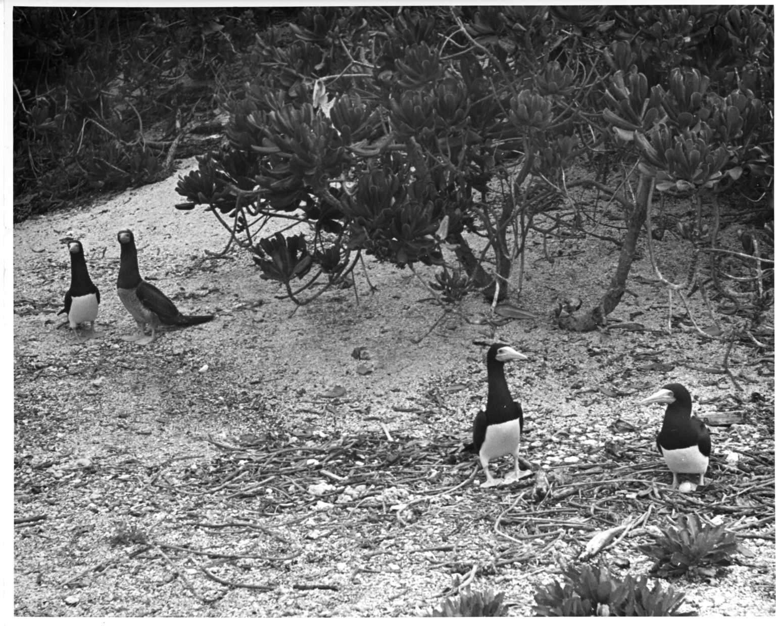 Brown booby and egg