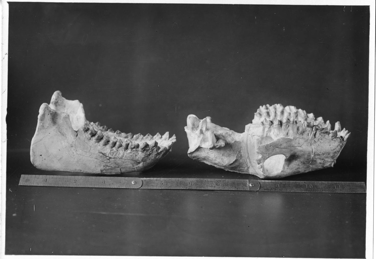 Oreodon fossil Skull