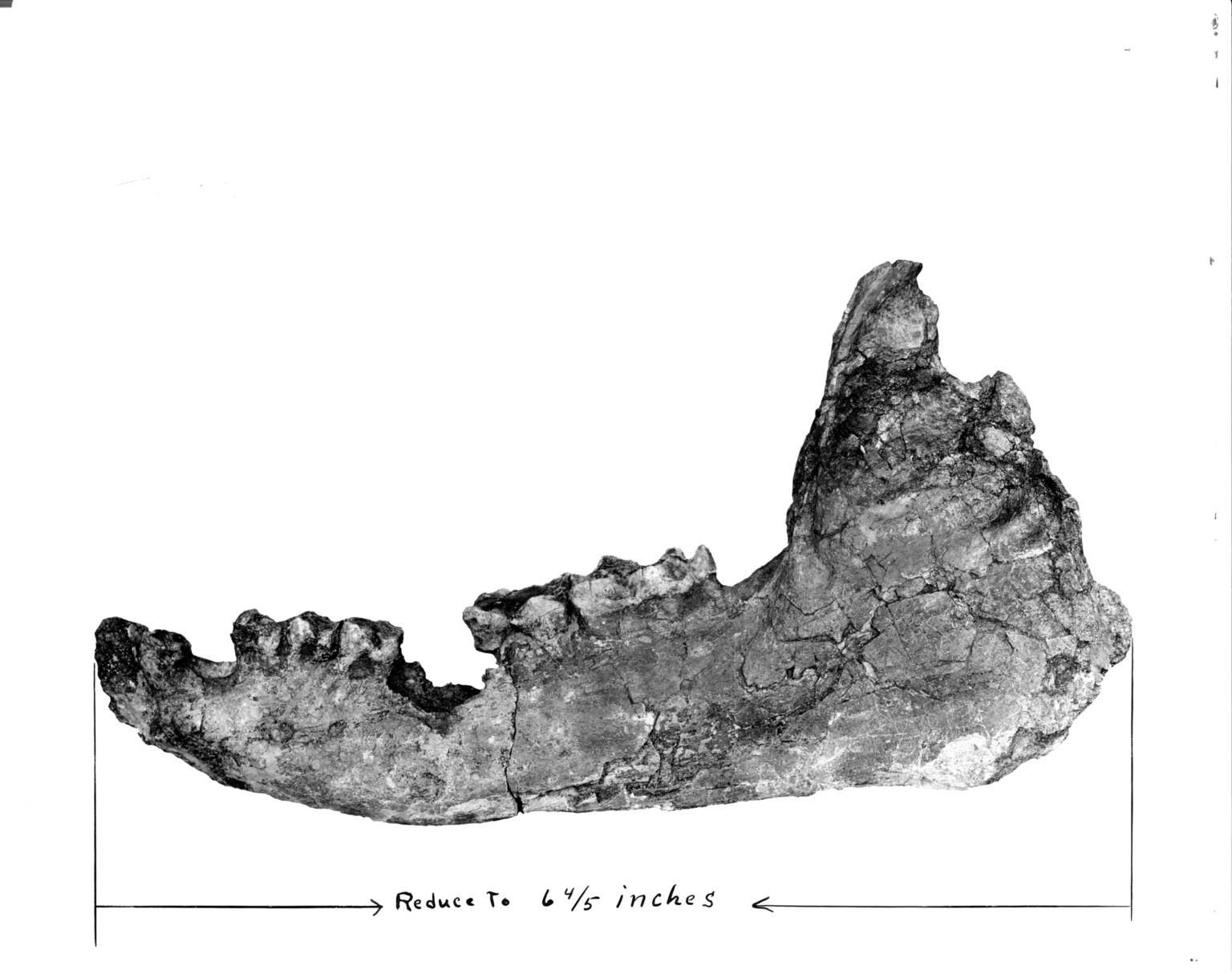 Titanothere mandible