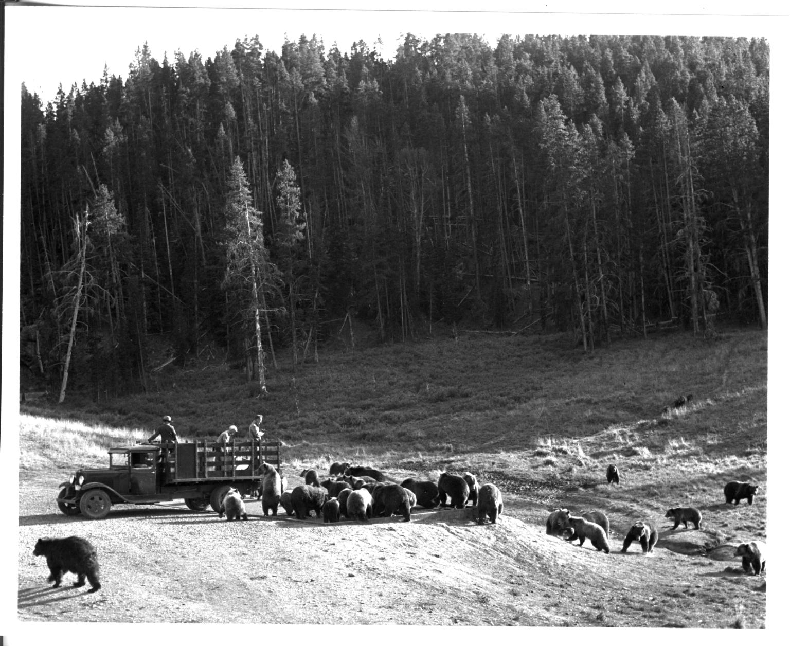 Feeding grizzly bears