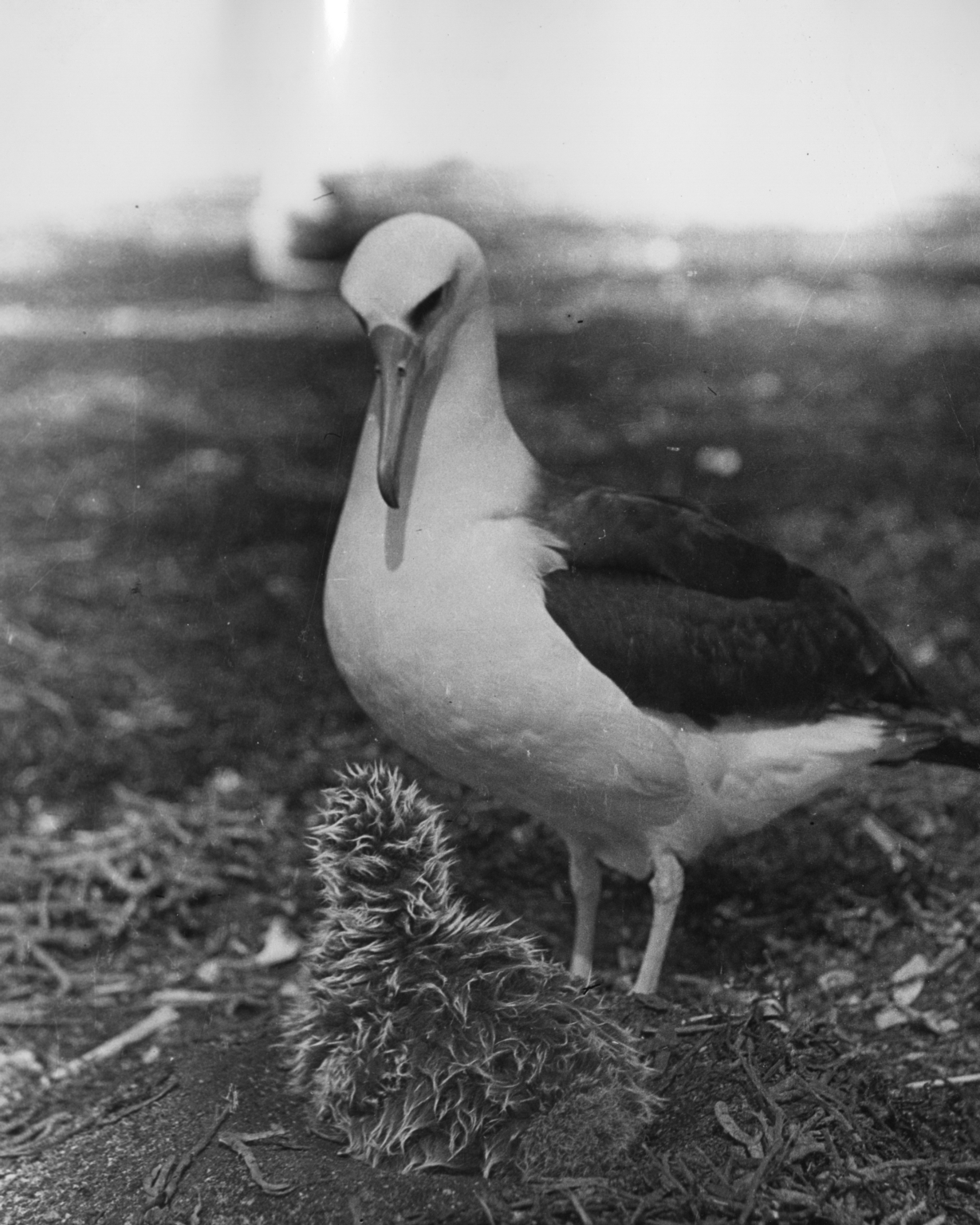 Laysan albatrosses with chick