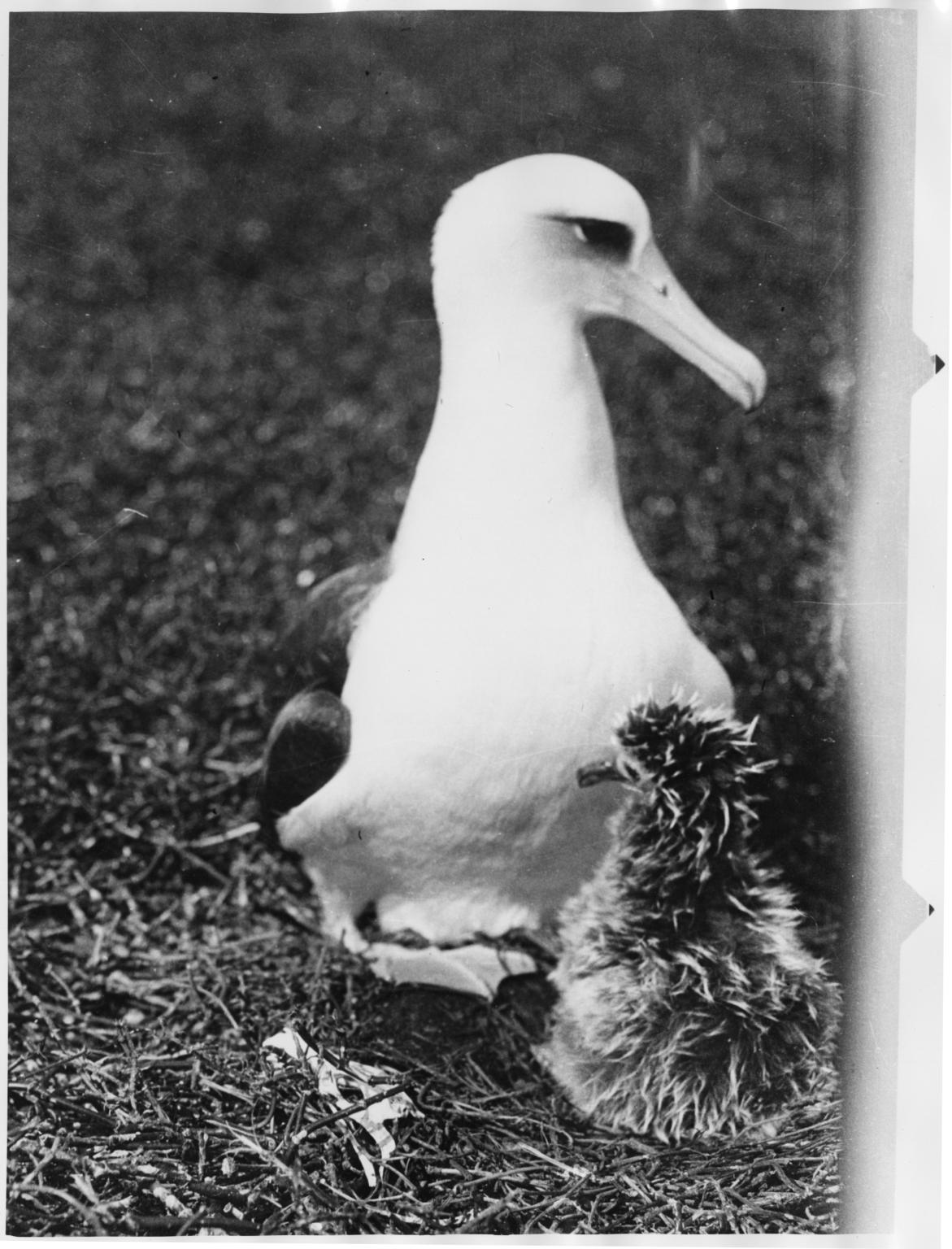 Laysan Albatrosse