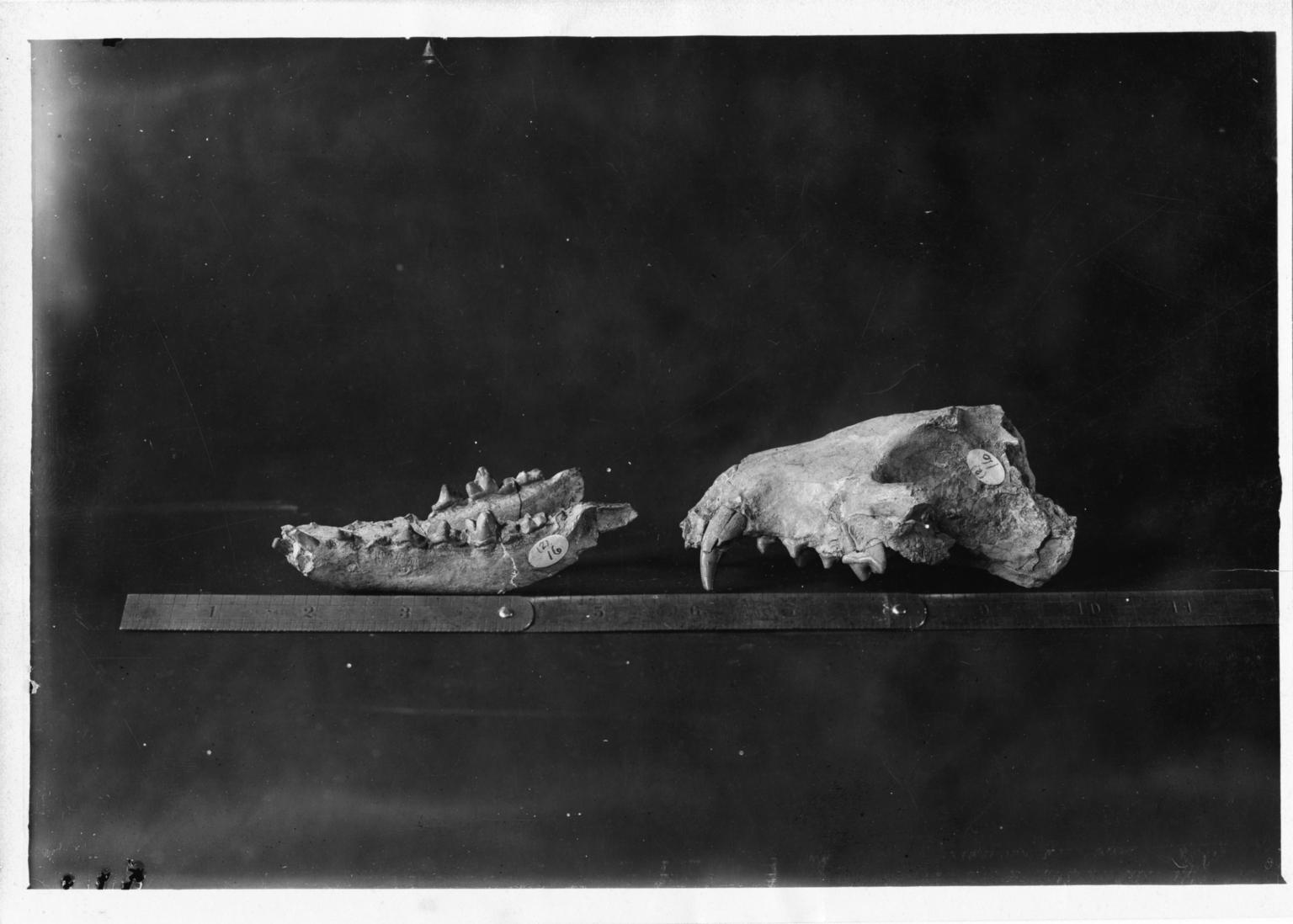 Fossil skull