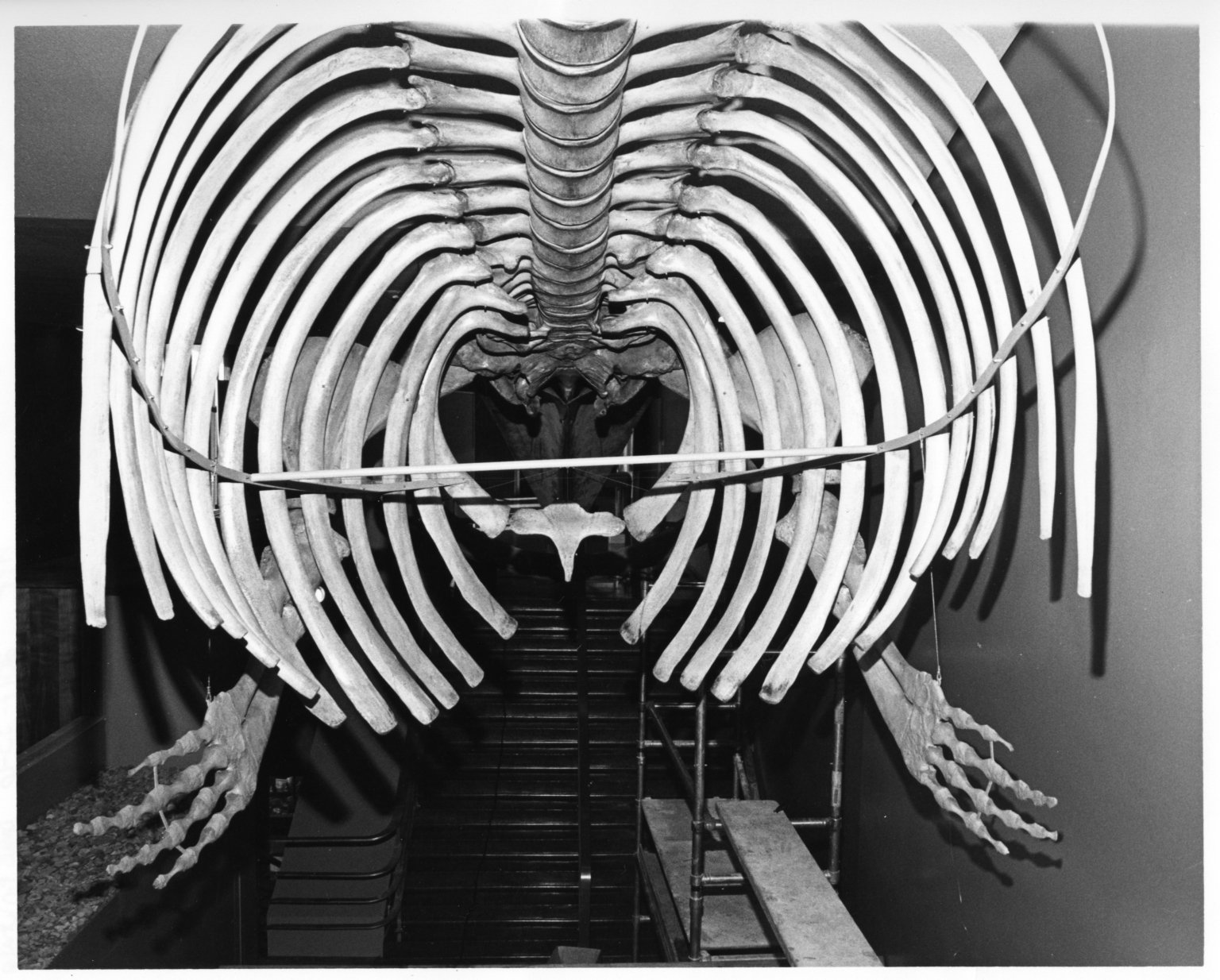 Fin Whale Articulation Move