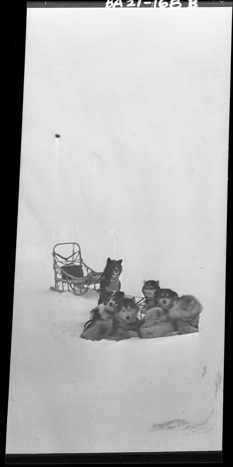 Sled dogs in Wainwright, Alaska