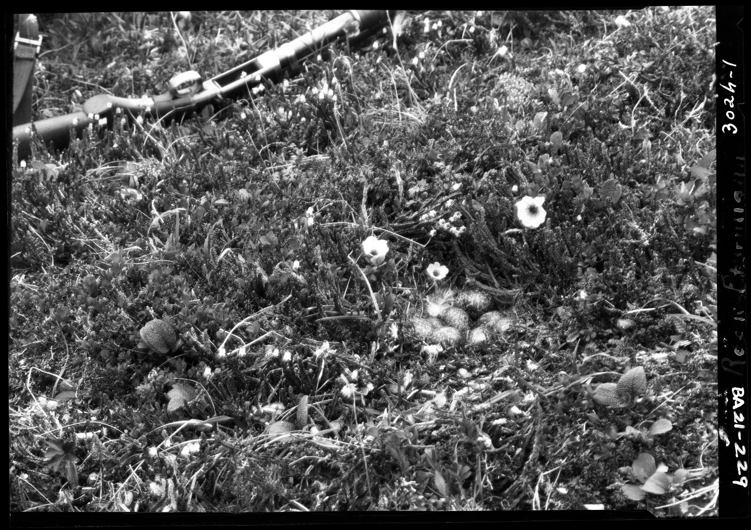 Rock Ptarmigan eggs and nest