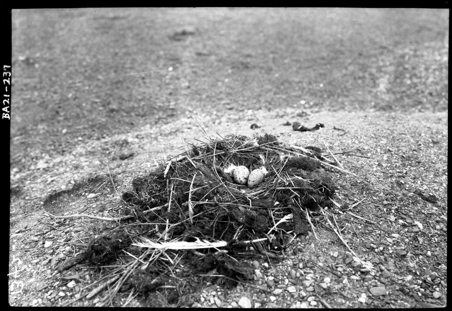 Glaucous gull eggs