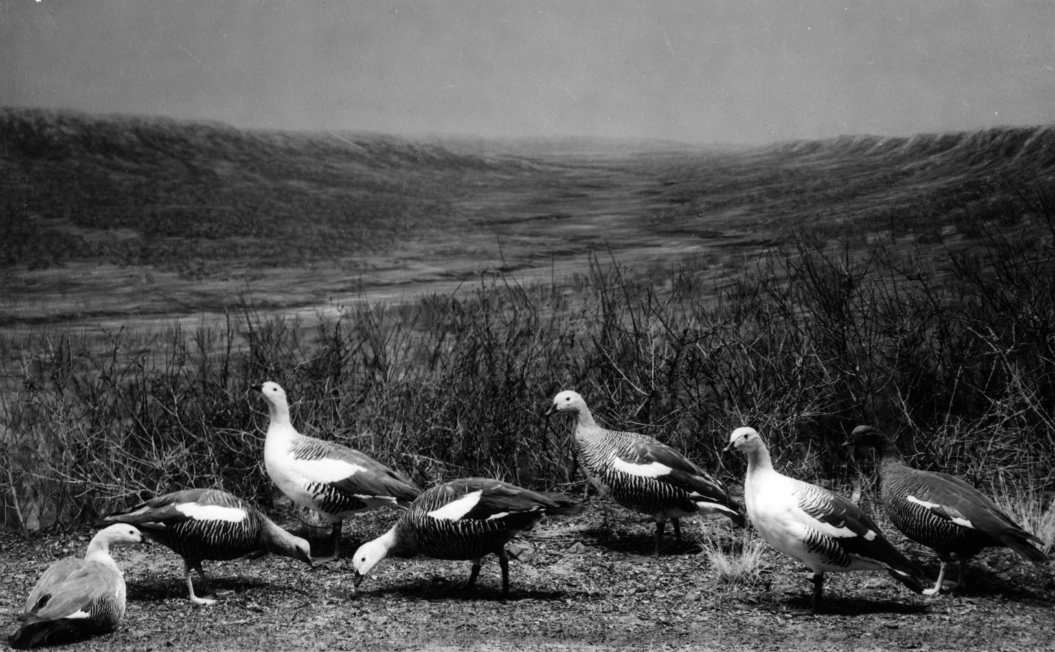 Argentina Geese