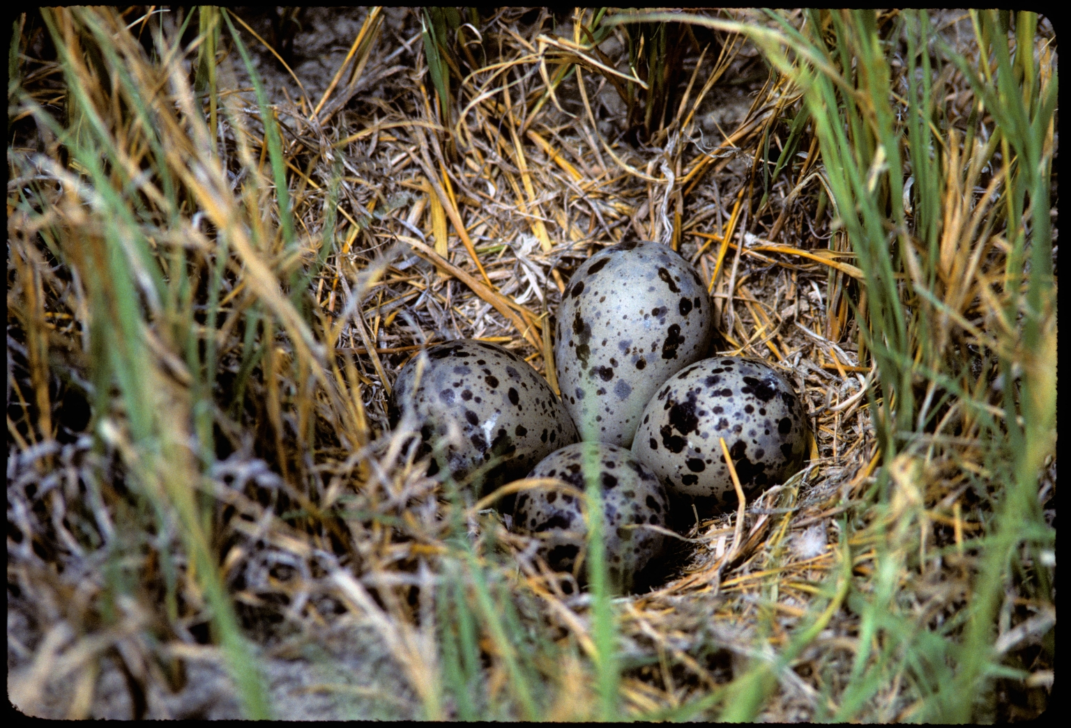 Willet nest with eggs