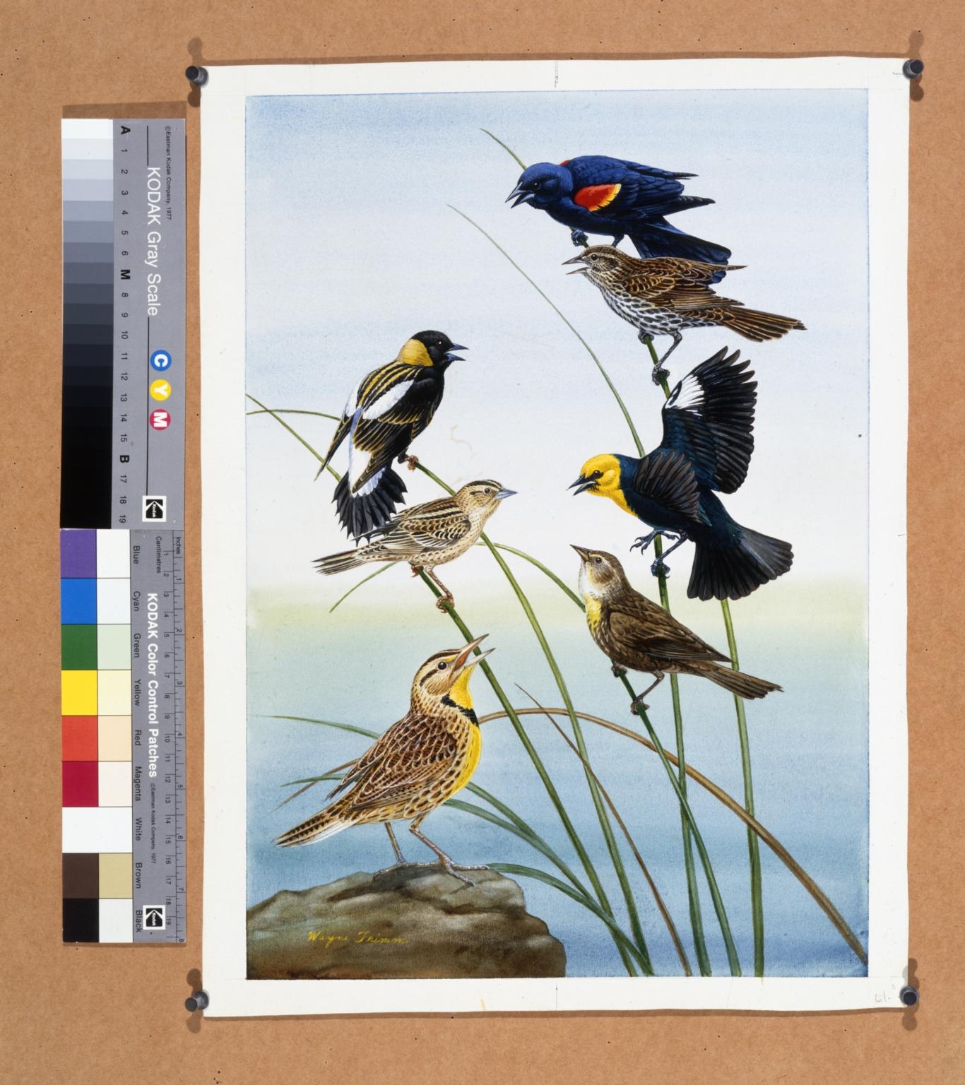 Red-winged Blackbird, Bobolink, and Western Meadowlark.