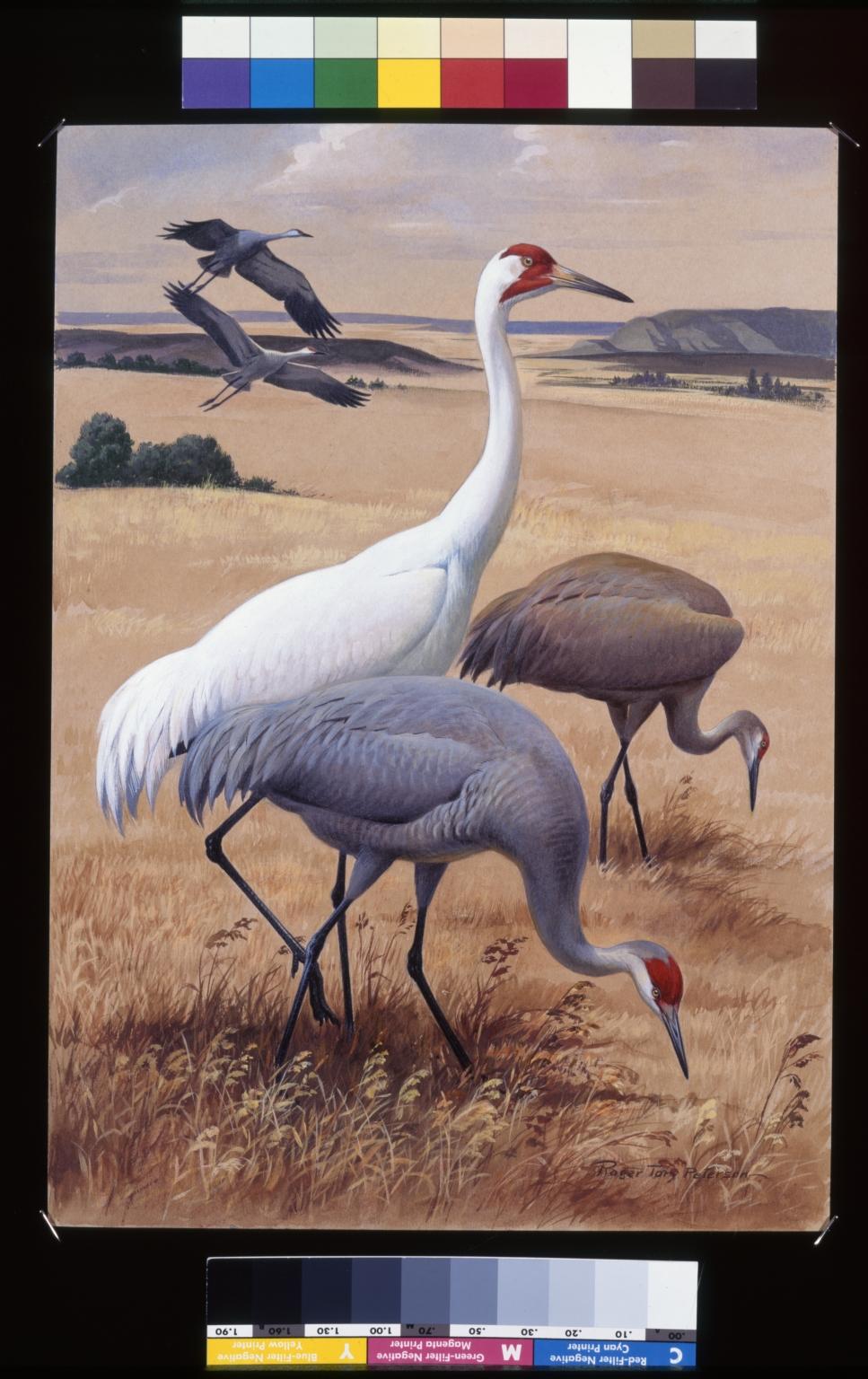 Whooping Crane  and Sandhill Crane.
