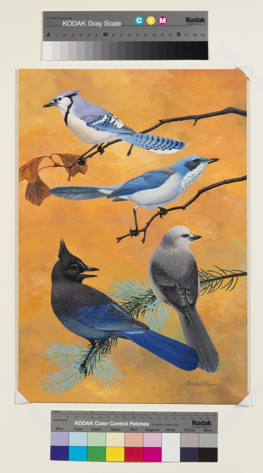 Blue Jay, Scrub Jay, Steller's Jay  and Gray Jay.
