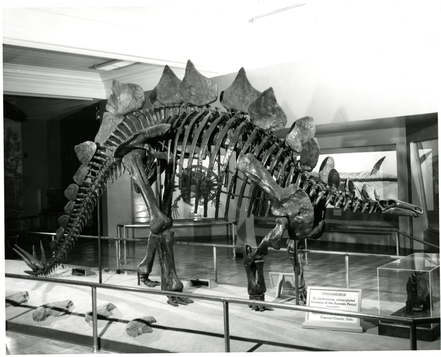 Articulated Stegosaurus Skeleton