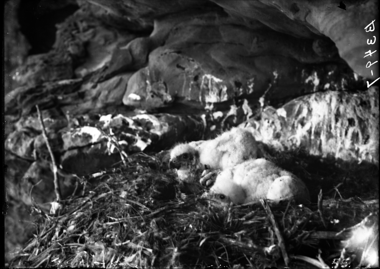 Nest of a Golden Eagle Young