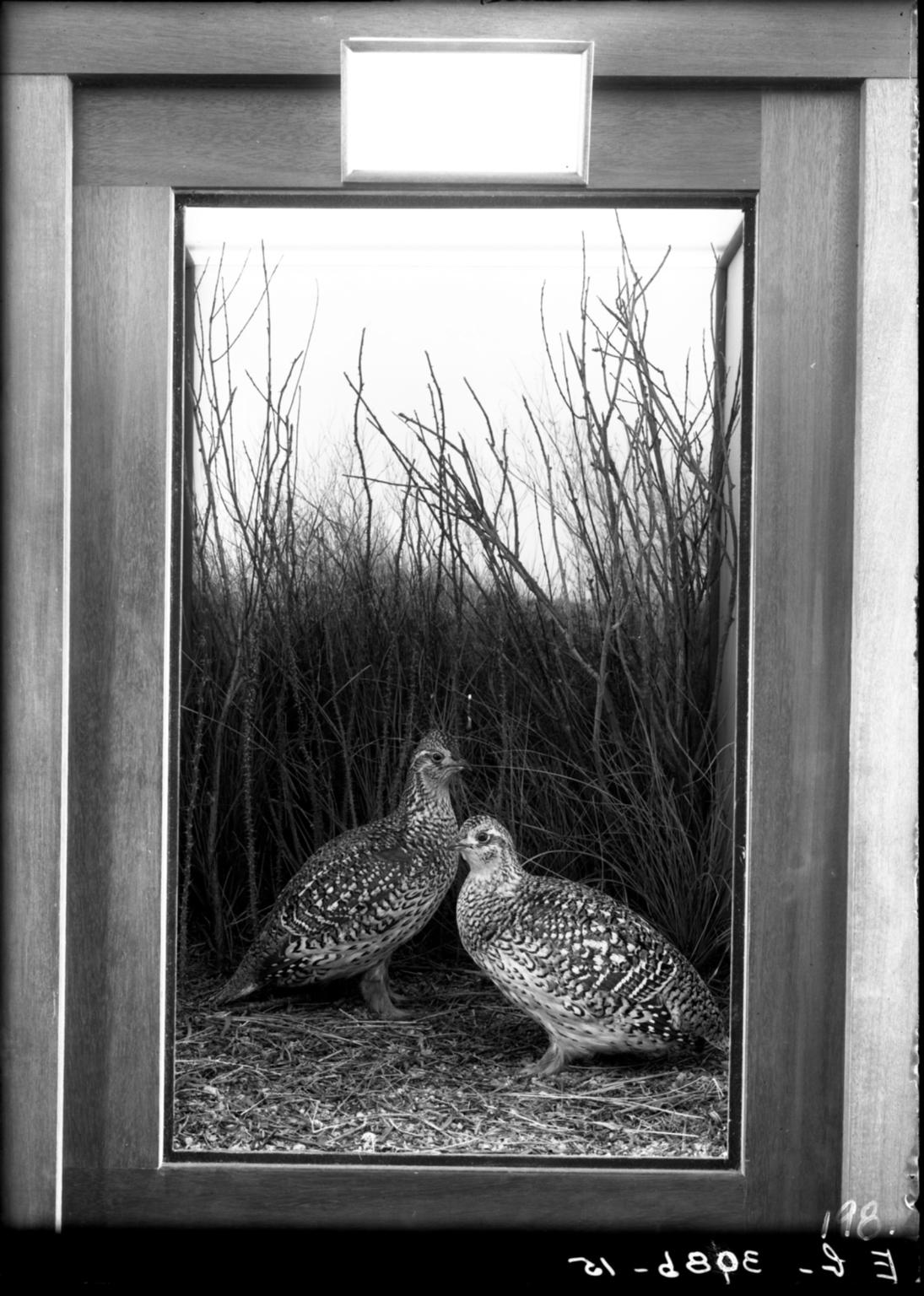 Prairie Sharp-tailed Grouse Group