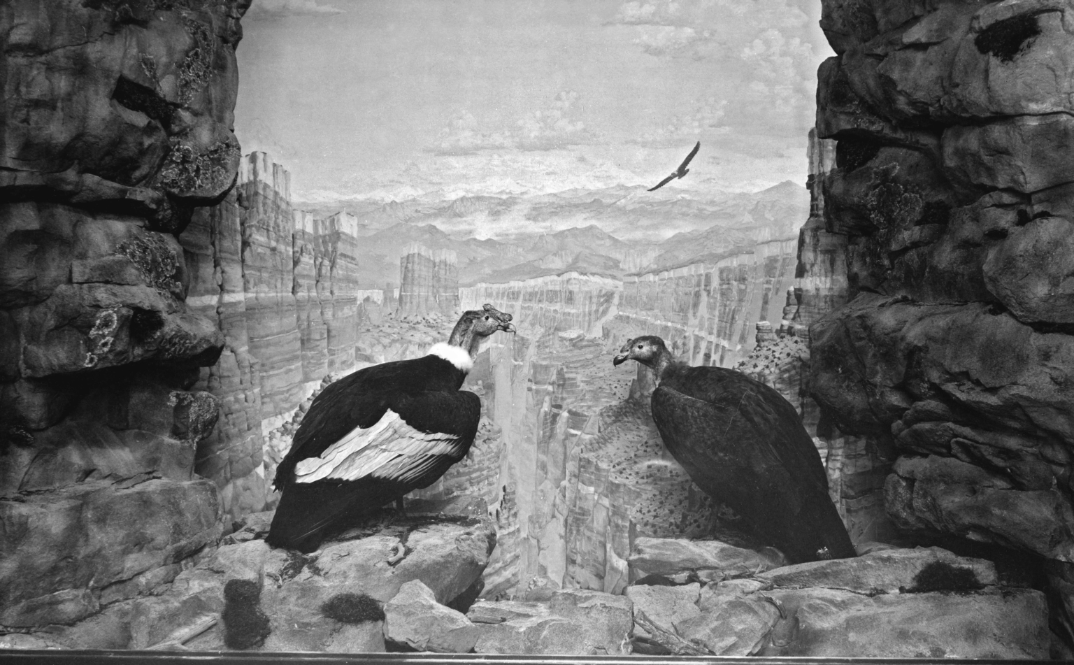 South American Condor Group