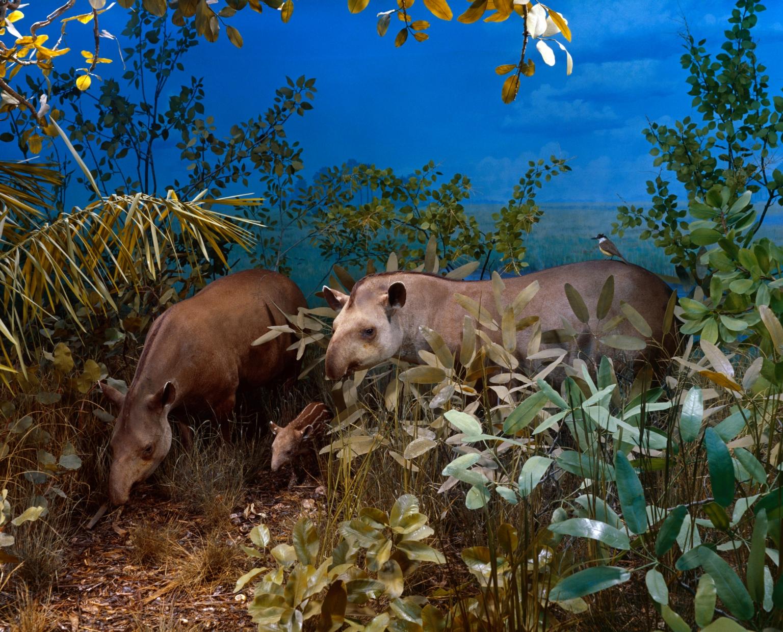 Tapirs in South American diorama