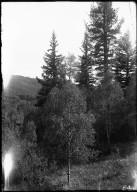 Aspen & Blue spruce