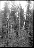 Engleman Spruce & Aspen growth