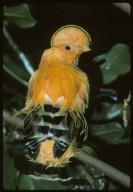 Guianan Cock-of-the-Rock