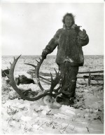 Kogmuk with big caribou