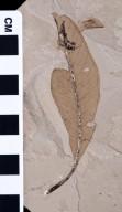 Syzygioides americana