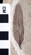 PC038 - leaf
