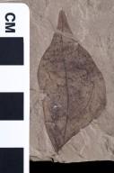 PC148 - leaf