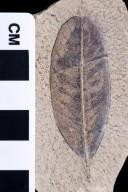 PC072 - leaf