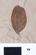 PC117 - leaf
