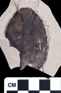 PC217 - leaf