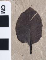 PC183 - leaf