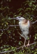 Nankeen Night Heron, also called Rufous Night Heron
