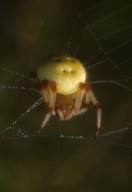 Araneus quadratus orb weaver spider (Araneidae)