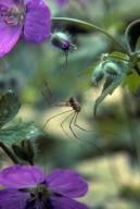 Harvestman (Opiliones)