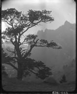Pine Tree Above Eldorado Springs