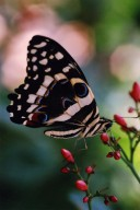 Close up of yellow, blue, and black butterfly