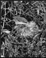 Brown Creeper, Finschia novaeseelandiae