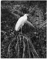 White Heron, Egretta alba