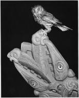 Ninox novaeseelandiae- Owl