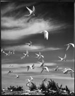 White Fronted Terns, Sterna striata