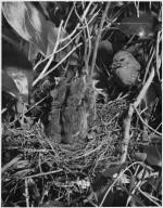 Hedge Sparrow, Prunella modularis