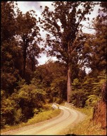 Kauri and fern forest lined highway