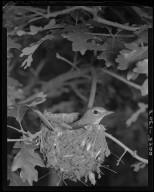 Plumbeous Vireo on a nest in scrub oak