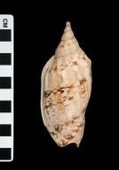 Alcithoe swainsoni