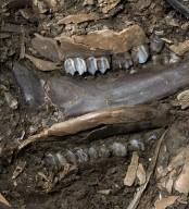 Fossil Deer Mandible and Teeth, Cervidae sp.
