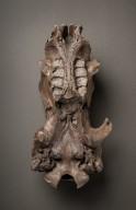 Sloth skull Ventral View