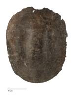 Turtle shell, Saxochelys gilberti.