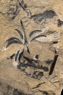 Trochdendralian follicles Fossil Leaf