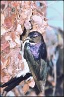 Male purple sunbird